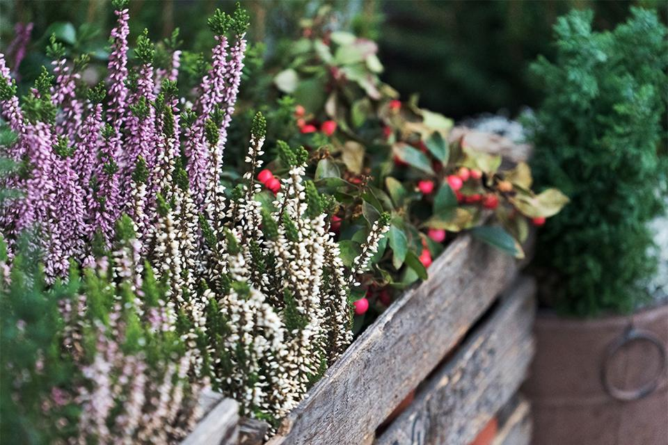 Close up of winter shrubs in containers, with purple heather and an evergreen with red berries.