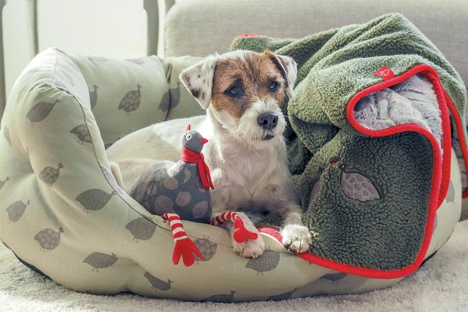 White Jack Russell dog with brown markings around the eyes and spotty ears sat in dog bed with chicken toy and green fleece blanket.