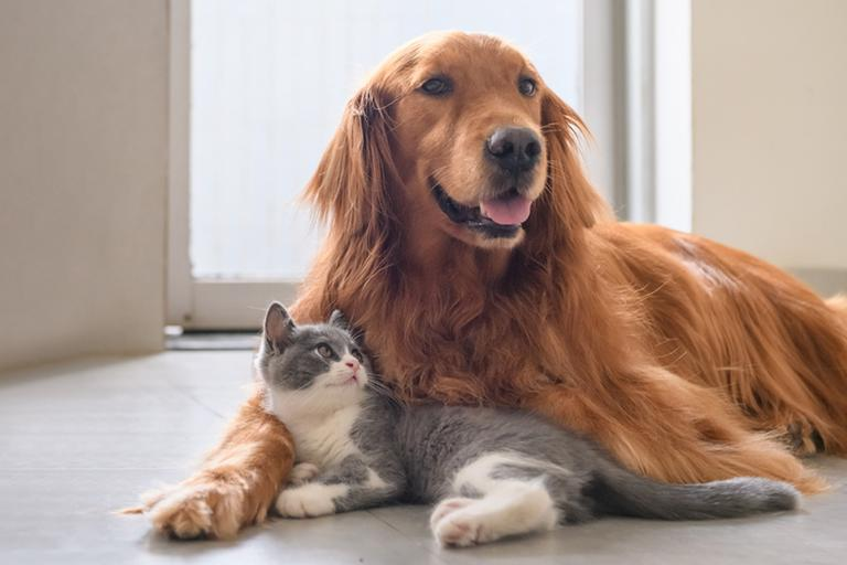 Grey and white kitten cuddling with golden retriever.