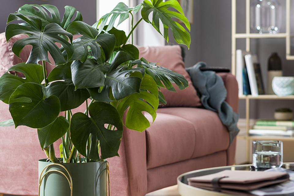 A leafy indoor plant in a green pot with a pink velvet sofa in the background.