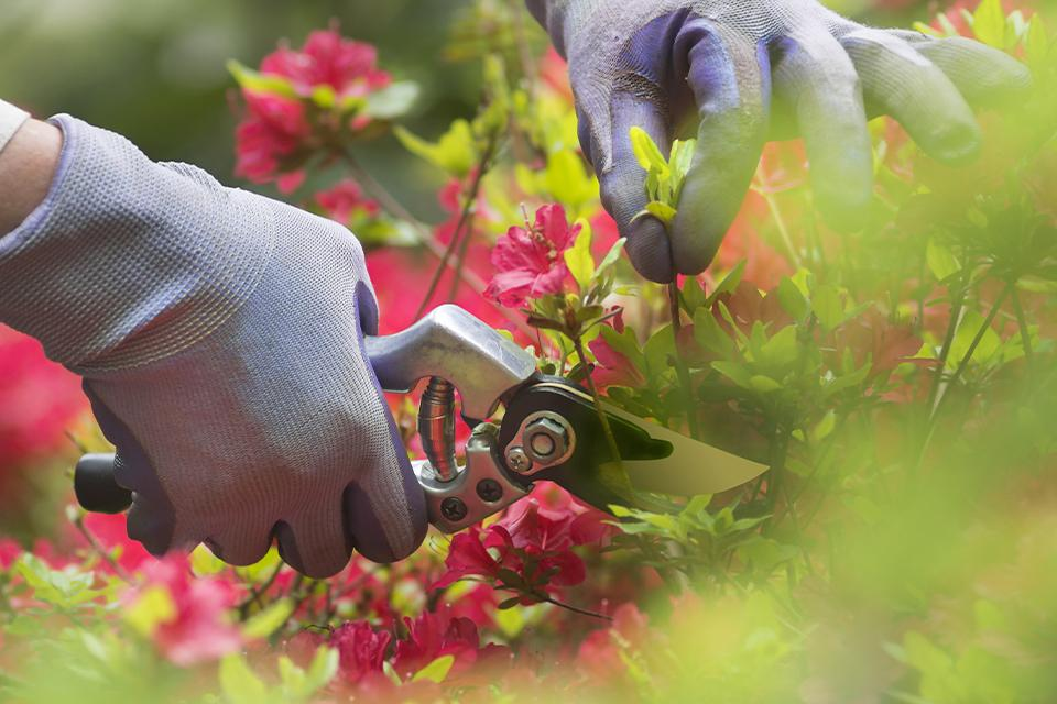 Woman wearing gloves and cutting plant with secateurs.