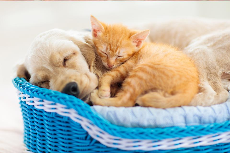 Puppy and kitten curled up in pet bed together.