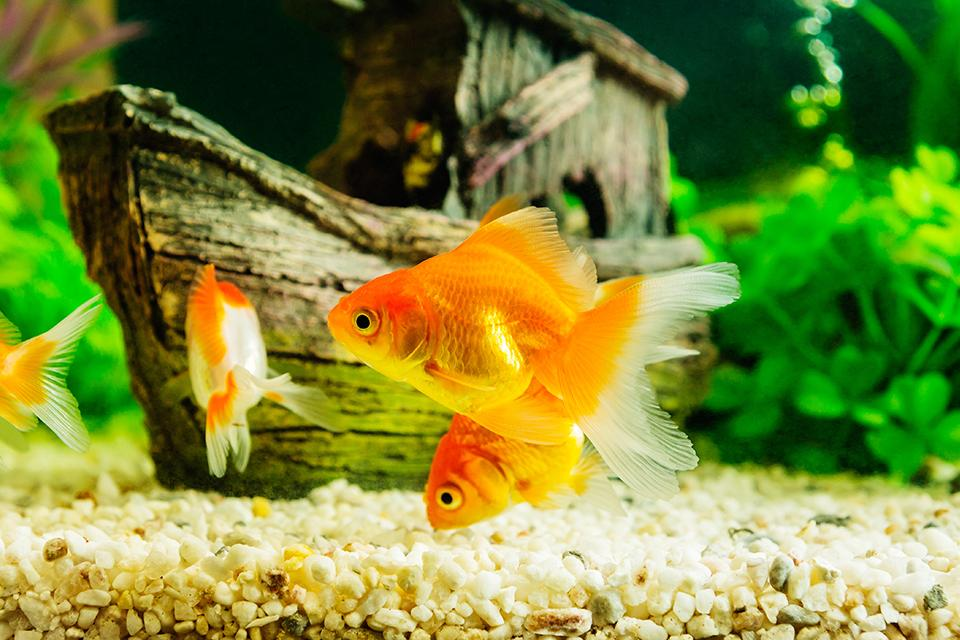 Three orange goldfish swimming about in a fish tank infront of a sunken ship ornament.