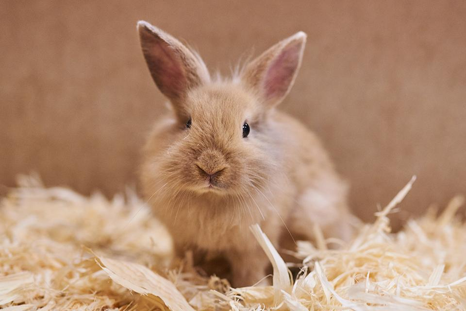 A small, fluffy light brown bunny, sat on hay looking at the camera.