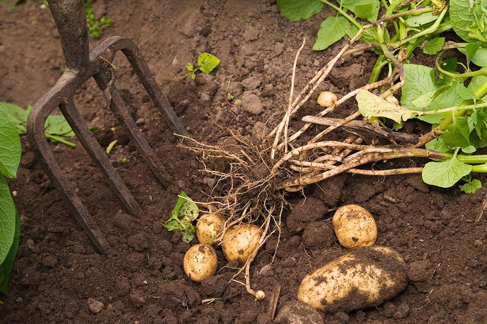 Harvesting potatoes.