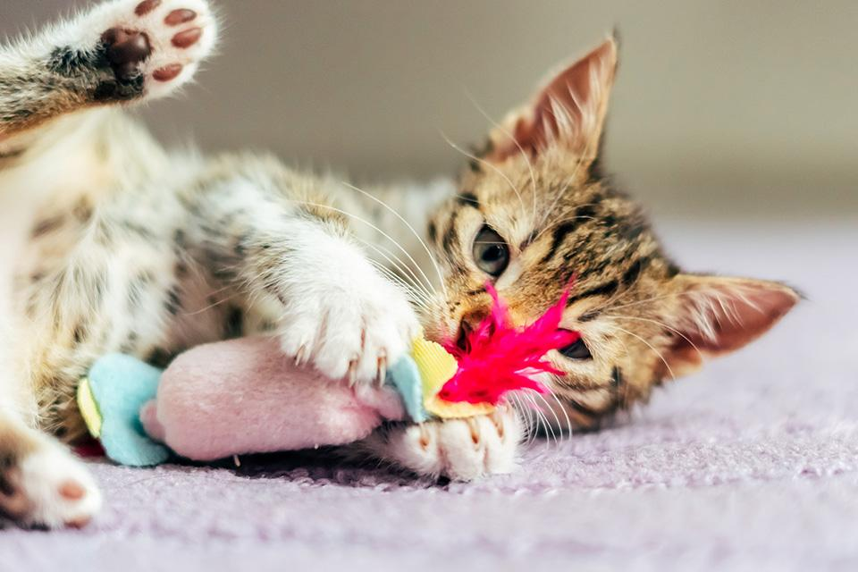 A kitten playing with a feathered toy.