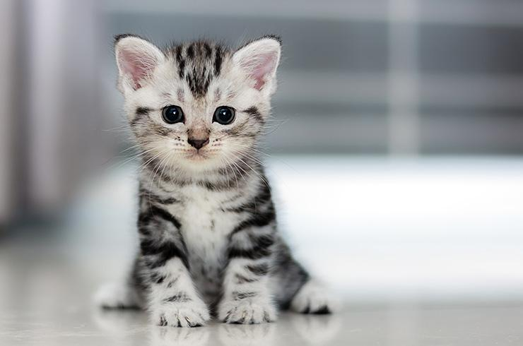 A small grey tabby kitten sat on the floor looking at the camera.