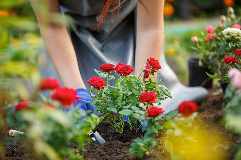 A woman planting red flowers.