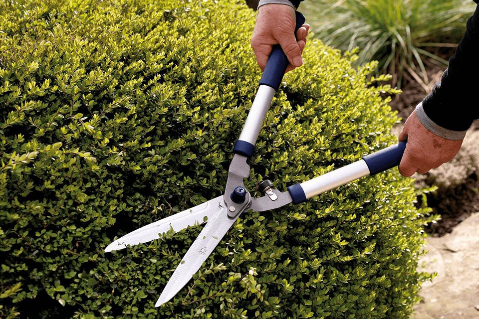 Man pruning box shrub with shears.