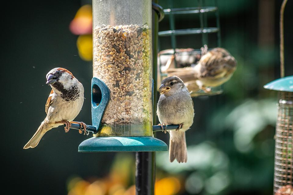 Two wild sparrows sat on a hanging bird feeder eating some seeds.