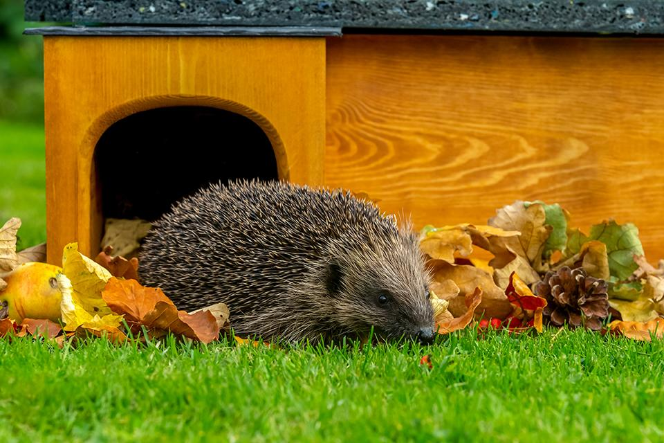 A hedgehog coming out of a wooden hedgehog house.