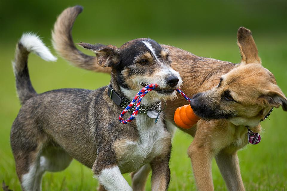 Two dogs playing with chew toy.