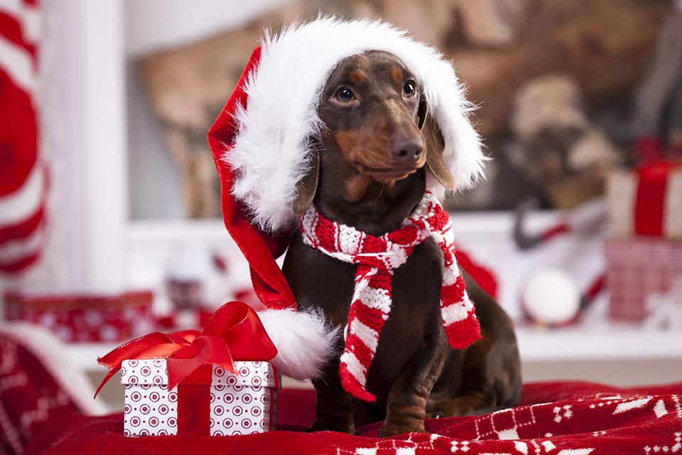 Dachshund wearing a Santa hat and small knitted scarf, sat next to a Christmas present on a red blanket.