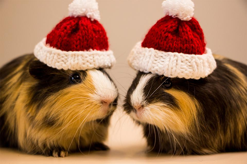 Two long haired ginger and black guinea pigs wearing tiny knitted Santa hats.