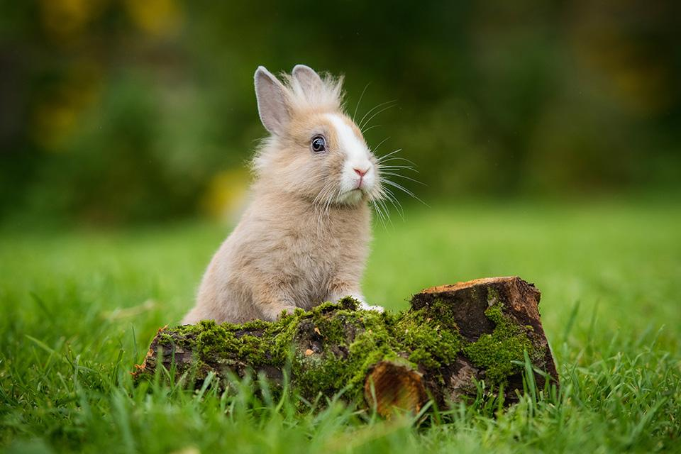 A small flufy bunny stood up on mossy bit of wood in a field.