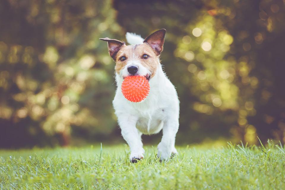 A small terrier dog running in field carrying a red ball in its mouth.