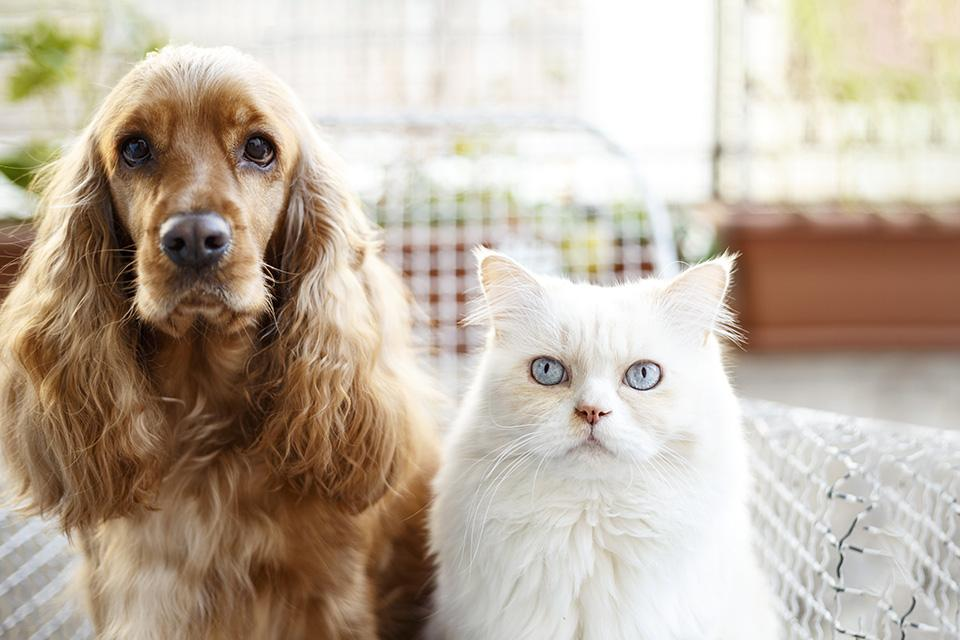 A cocker spaniel dog and long haired white cat sat togetheron a chair, looking at the camera.