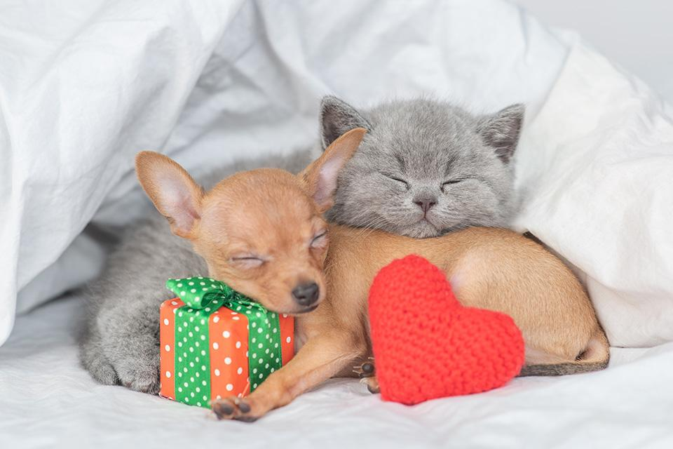 A grey kitten and a chihuahua cuddled up together in a white blanket. The chihuahua has it's head resting on a red and green wrapped present and a knitted red heart is led up against its side.