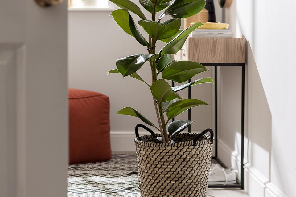 A tall rubber plant in a woven seagrass basket with handles.