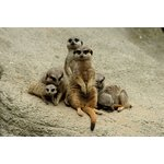 more details on Meerkat Encounter for Two.