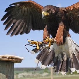 Falconry and Birds of Prey Gift Experience